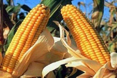 Por cuarto año consecutivo, creció el área sembrada con maíz de primera en Entre Ríos