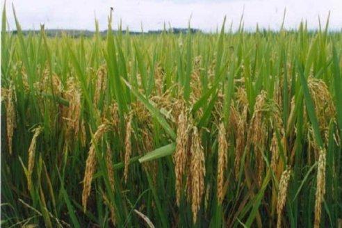 Santa Fe avanza con una nueva variedad de arroz