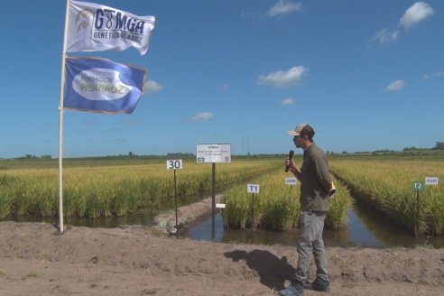 Día de Campo de Arroz 2020 - Fundación PROARROZ y GTMGA INTA C.del Uruguay