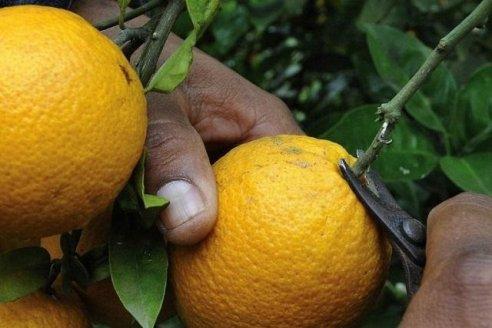 Citricultura: se conocieron precisiones sobre el desarrollo de la cosecha durante la cuarentena