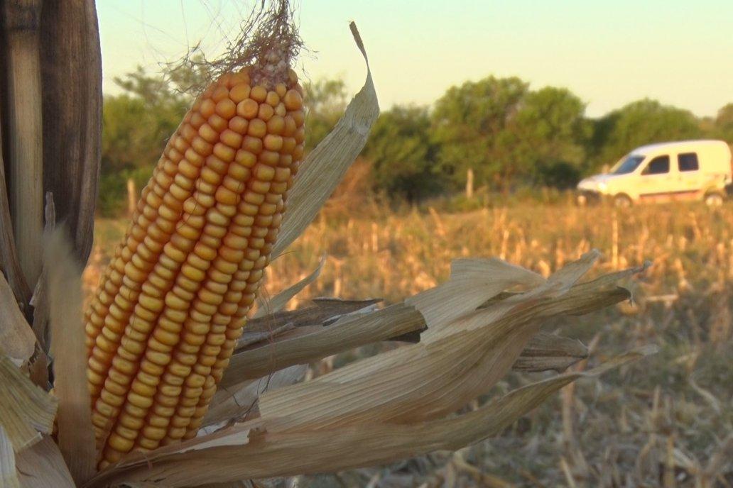 En Entre Ríos, se requieren cosechar 4.900 kg/ha de maíz para cubrir los costos