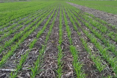 En Entre Ríos, se sembraron alrededor de 460.000 ha de trigo