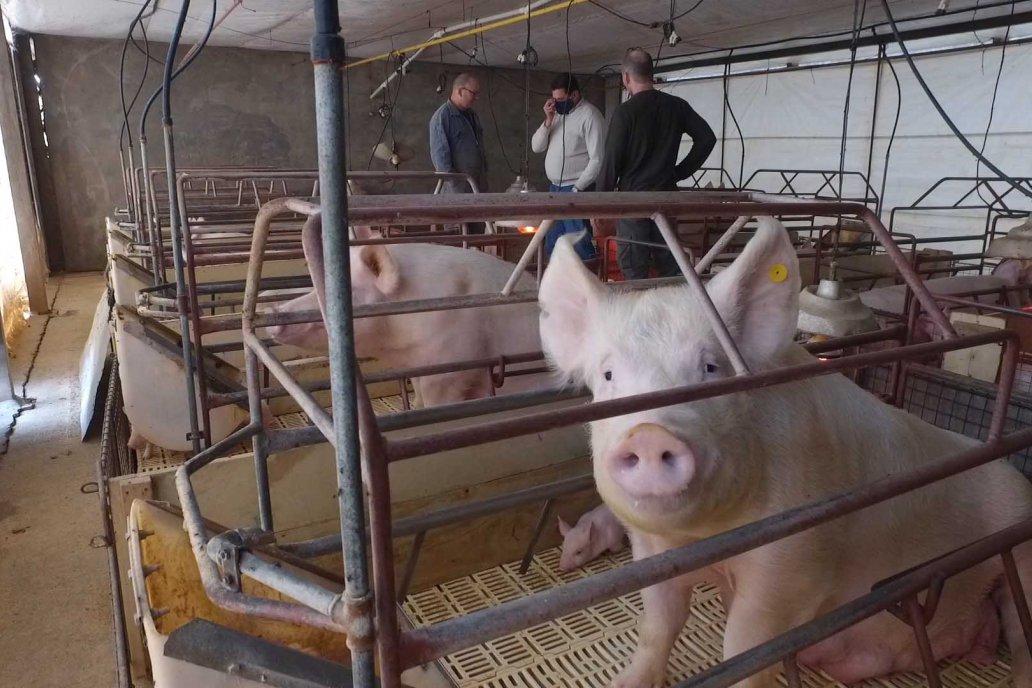 Establ. Porcino Don Eduardo, hacedores de madres para granjas entrerrianas