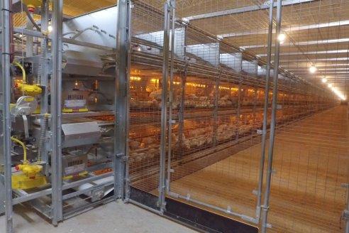 Producción de huevos de gallinas libres de jaulas, único modelo en el país y es entrerriano