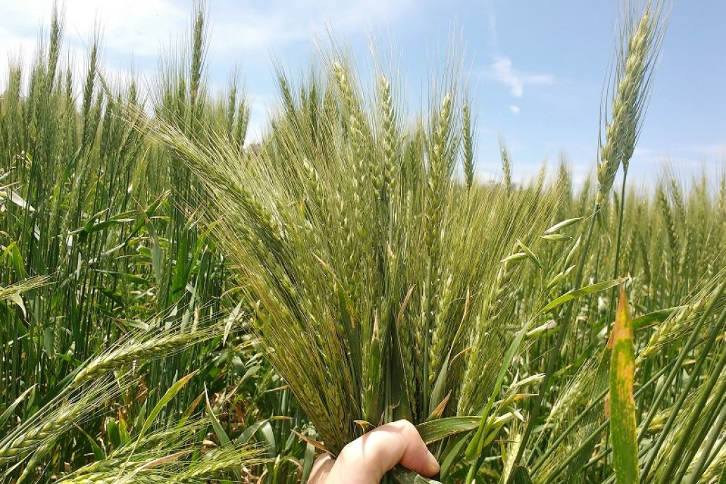 Desde INTA confirman que el trigo es rentable en el modelo agroecológico