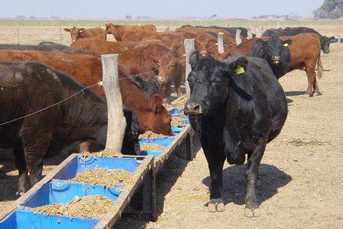 Transformar sorgo en carne: una oportunidad para agregar valor