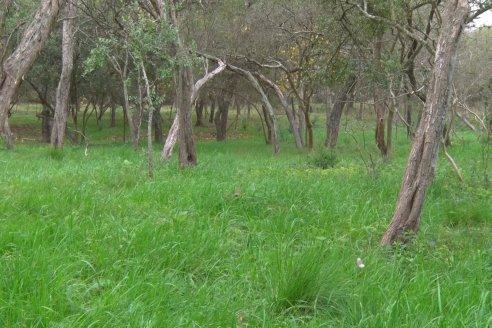 Casa Padre Lamy: siembra de Raigrás en monte nativo