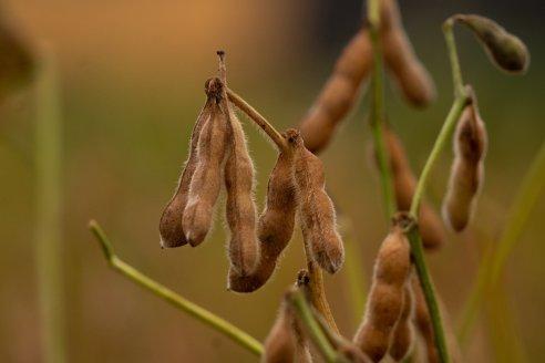 Soja: nuevas variedades ponen el foco en el rendimiento y en la estabilidad