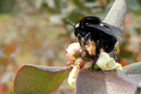 Estudian cambios en el comportamiento de los abejorros