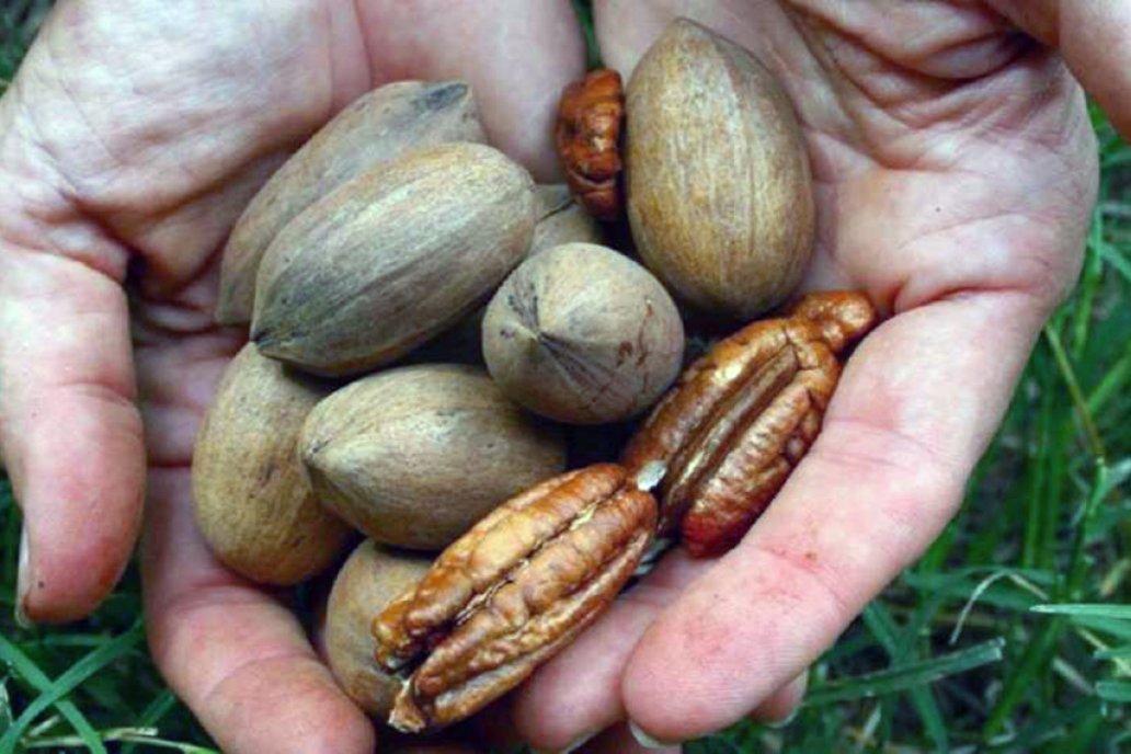El INTA y los productores de pecán trabajan en conservación de nuez en góndola