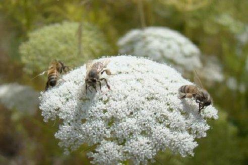 """Día Mundial de la Abeja comenzó la sexta campaña """"Más miel todo el año"""""""