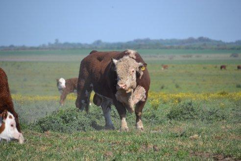 Estancia Don Napoleón - Optimización del manejo de un rodeo Hereford en Larroque