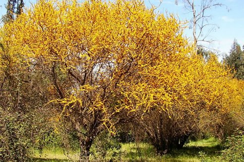 El árbol entrerriano es el Aromito