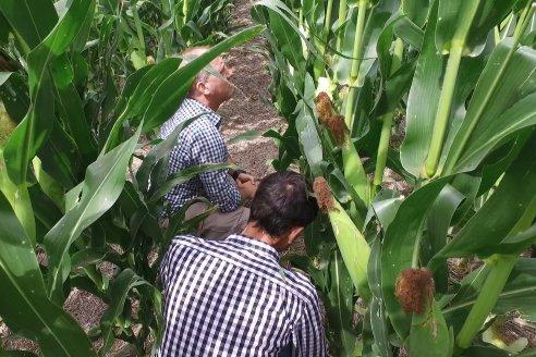 Las principales plagas a monitorear en los lotes de soja y maíz