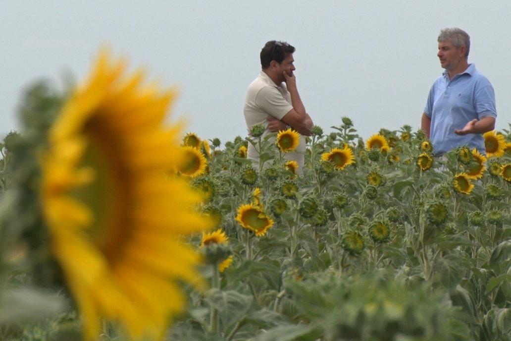 En lote de 200 hectáreas tiene una parte sembrada a término y otra tardía.