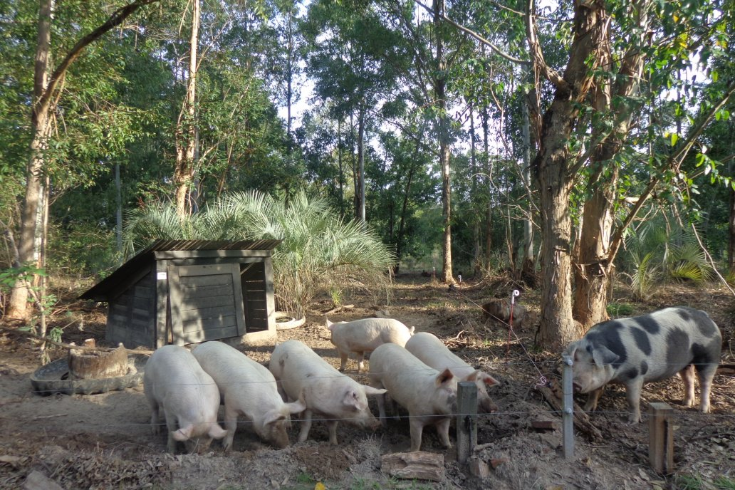 Se apunta a que las cerdas tengan una vida reproductiva de 6 años