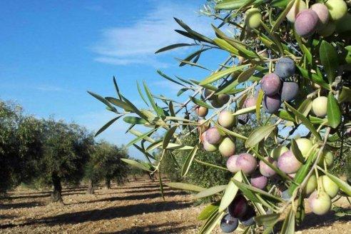 En La Rioja ahora invierten en biocombustibles a base de olivos