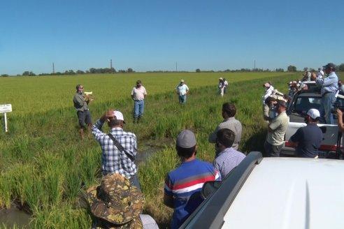 El arroz no tiene techo y le sobra potencial productivo