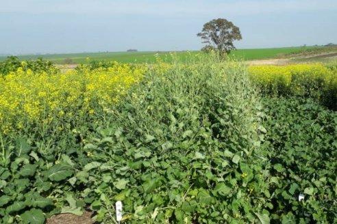 Carinata, un cultivo para diversificar secuencias agrícolas