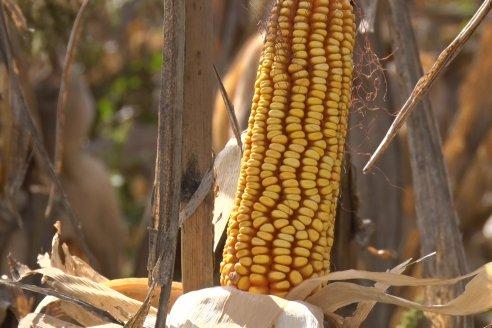 Establecimiento El CAA-GÚÍ - Strip Test Agronómico Agrofe Campo - KWS Semillas - Rizobacter