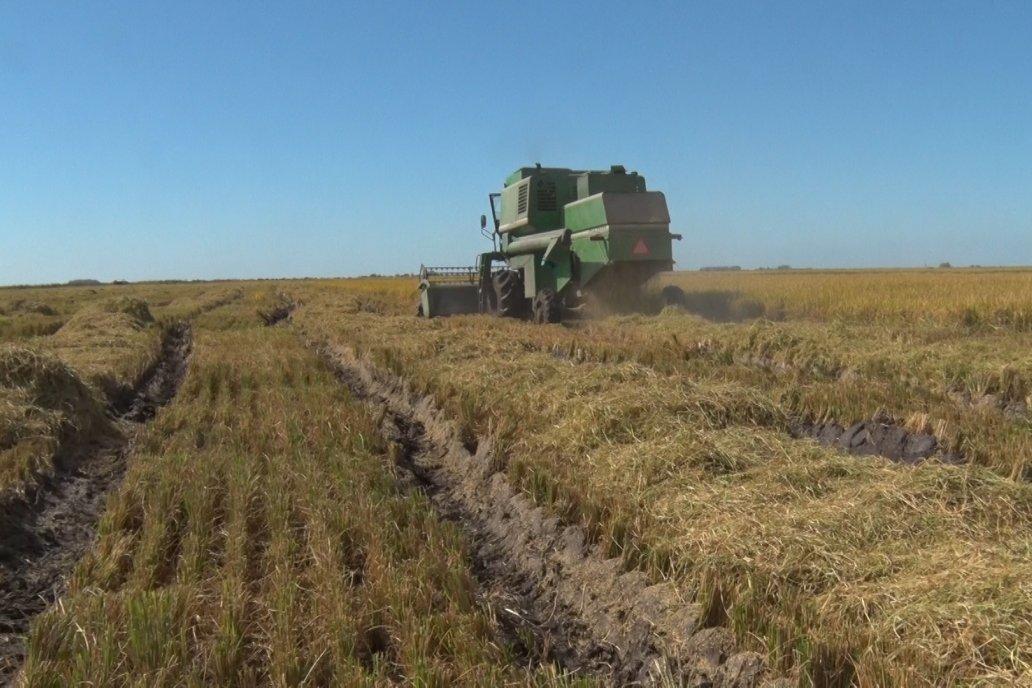 El rinde promedio del arroz entrerriano es de 7.800 kilos por hectárea.