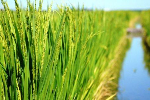 En Corrientes estudian una maleza agresiva para el arroz