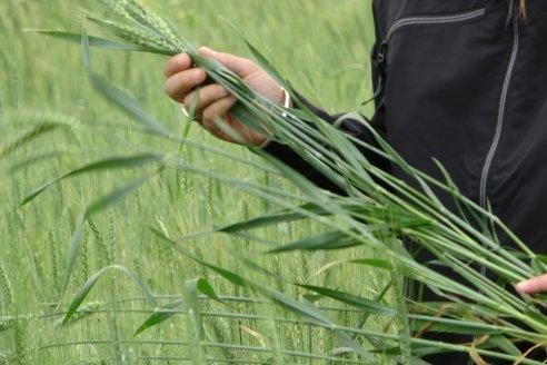 Enrique Alberione: Cómo controlar enfermedades resistentes en trigo y cebada